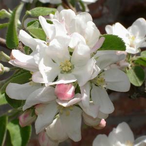 Яблони в цвету - какое чудо...