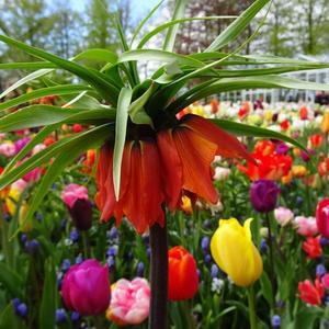 Взгляд на тюльпаны с высоты рябчика