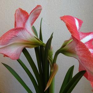 Расцвел амариллис