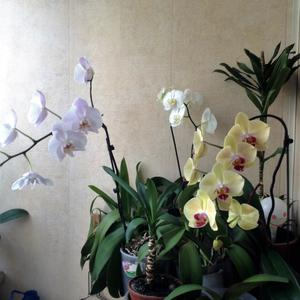 Мои орхидеи