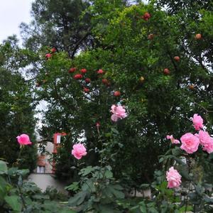 Розы и гранаты
