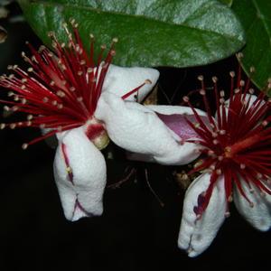 Цветки фейхоа