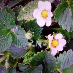 Раннее цветение клубники
