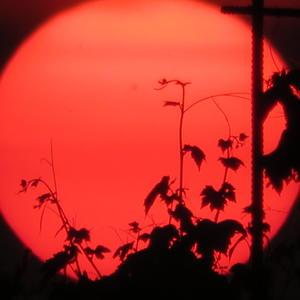 Виноград на закате