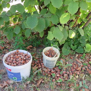 Урожай лесного ореха