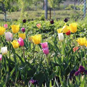 Тюльпаны с каждым днём всё красивее и красивее!