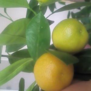 Новый урожай мандаринов