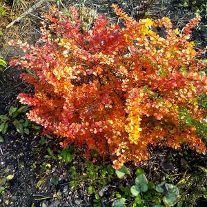 Осенний барбарис