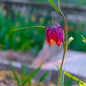 Пурпур абажура как шахматный крап,  внутри светлячками тычинки ...
