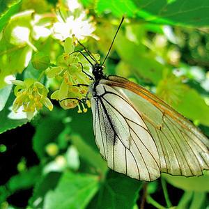 Падающий цветок вернулся вдруг на ветку  Оказалось: бабочка!