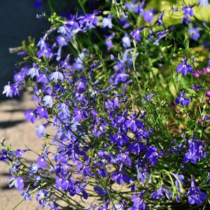 Тёплой осени творенье –  синеокие цветы!