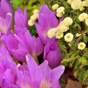 Как сон весенний лета бабьего цветок безвременника