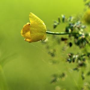 Цветок для Ромео и Джульеты