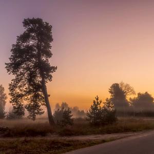 Сосна, купаясь в розовом тумане, себя красавицей Венерой ощущая, парит в прохладной тишине, корявый ствол ветвями прикрывая