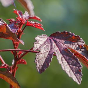 Гибискус краснолистный Китайская роза