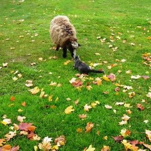 На лужайку утром рано в гости кот позвал барана. Тот наелся досыта и ... Подстрижена трава!