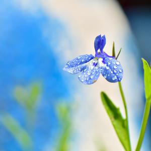 Лето в объективе. Цветок лобелии после дождя