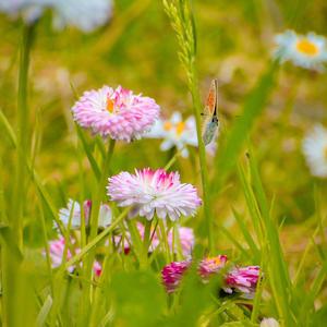 Маргаритки в саду расцвели. Очень низко – у самой земли. Будто бросили коврик у ног. Но ступить на него я не смог
