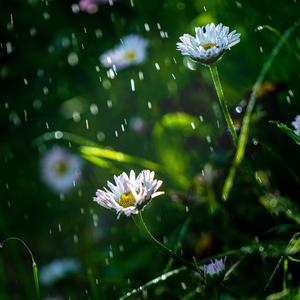 Спецэффекты. Дождь и маргаритки