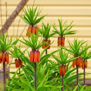 Fritillaria Аврора