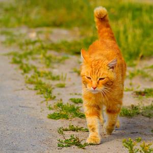 Красив, умён мой рыжий кот. Не каждому как мне везёт!