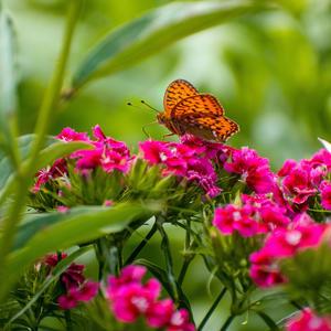 Цветок с цветка взлетает и над цветком порхает