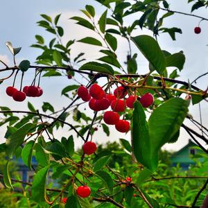 Краснеет в саду черешня, краснеет очень прилежно, то левый бочок, то правый на солнышке согревает