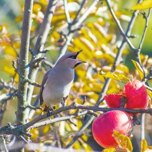 Как дети малые - через забор и в сад, а там два спелых яблока висят. Хозяин- крут и выгнал их из Рая За то, что съели половину урожая
