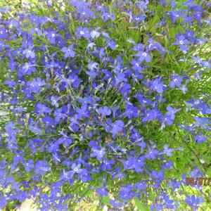Голубое облако цветов