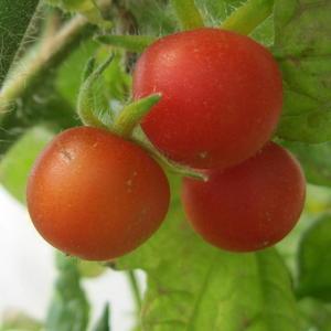 Томатики- ягодки