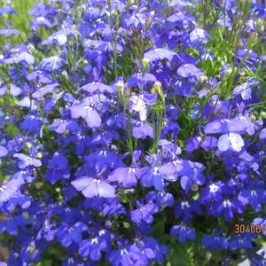 Синева в цветах