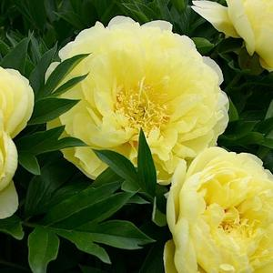 Пион Бартзелла - чудо лимонного цвета!