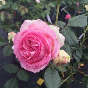 Царственная роза