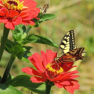 Циннию любят все бабочки