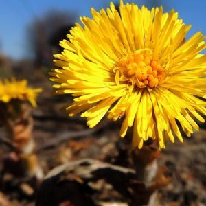 Цветочек мать-и-мачехи как ясно солнышко