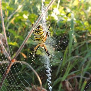 Аргиопа Брюнниха, или паук-оса