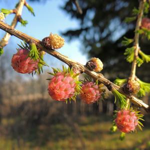 Преображение лиственницы весной
