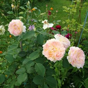 Любимые розы Дэвида Остина