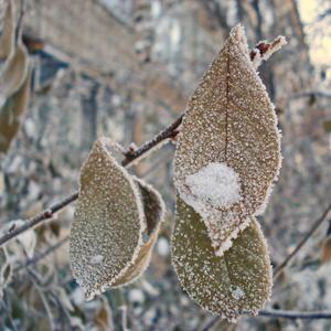 Листочки в зимнем *сахаре*