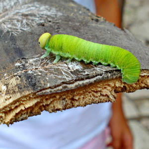 Зелёная гостья