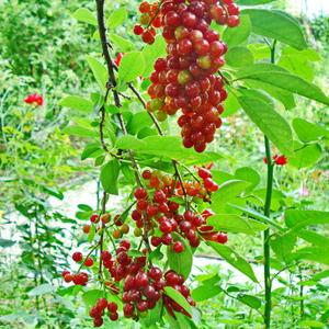 Гроздья красной черёмухи