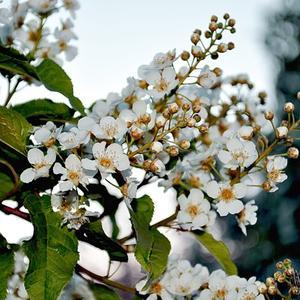 Черёмуха душистая весною зацвела...