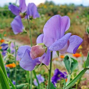 Душистый горошек - весьма симпатичный цветок!