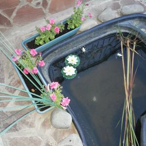 А в пруду две лилии...
