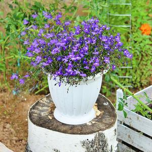 Лобелия - прекрасное растение для кашпо, вазонов и вазончиков