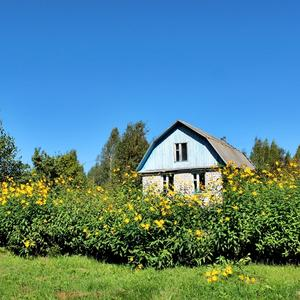 Живая изгородь из топинамбура