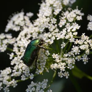 Жук-бронзовка присел отдохнуть на цветке сныти