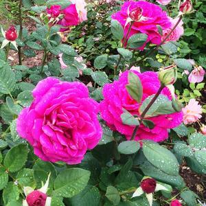 """Роза """"Big Purple"""""""