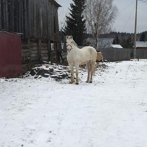Белая лошадка на белом снегу