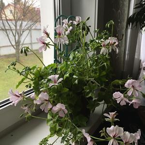 Переехала из сада в дом плющелистная пеларгония из семян